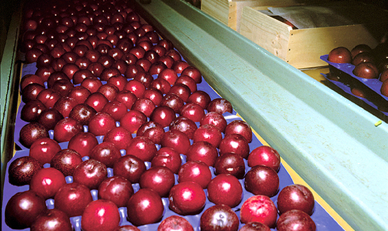 nectarines packing